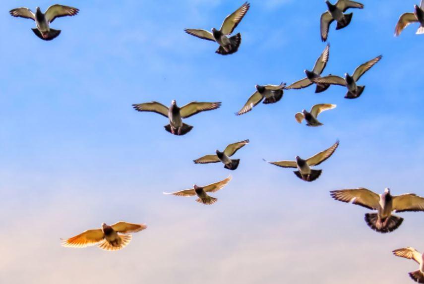 Brieftaubenflug